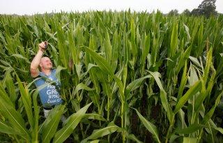 Snelgroeiende mais heeft steeds meer water nodig