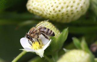 Bijen+leveren+gewasbeschermingsmiddel+aan+planten