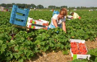 Limalexia+biedt+grote+aardbeien+in+hete+zomer