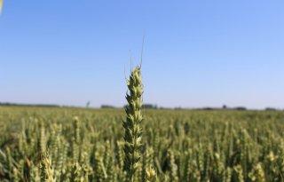 Australi%C3%AB+oogst+minder+tarwe+door+droogte