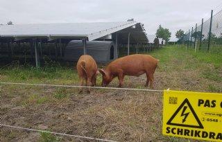 Tamworth%2Dvarkens+ingezet+in+strijd+tegen+onkruid