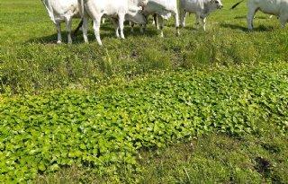 Waterplantexplosie+slecht+voor+koe+en+afwatering
