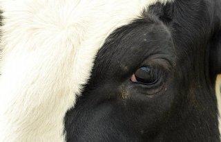 Veetransportschip+met+zesduizend+koeien+vermist