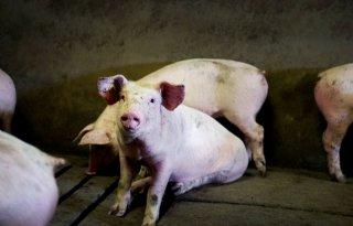 Schweineb%C3%B6rse+noteert+weer%2C+prijzen+iets+hoger