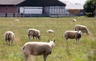 Warmer+klimaat+be%C3%AFnvloedt+gezondheid+schapen