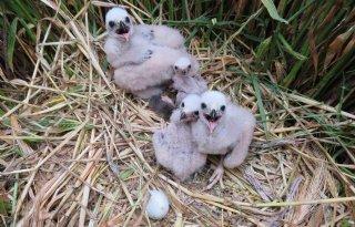 TV: Boer redt nest jonge kiekendieven