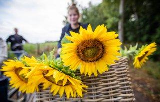 Akkerbouwer laat burger zonnebloemen plukken