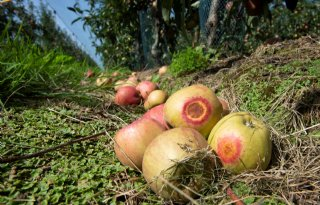 Zonnebrand+bezorgt+Belgische+fruitteelt+veel+schade