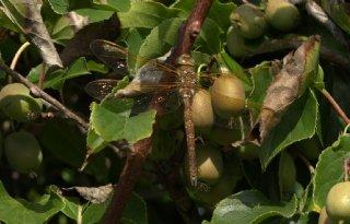 Kiwibes nog niet rijp maar wel geoogst