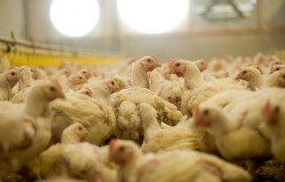 Nog+geen+vogelgriep+gevonden+bij+Belgische+screening