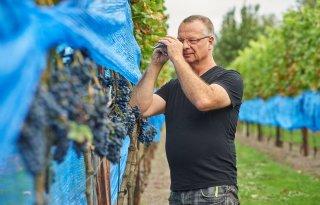 Wijnboer begonnen met druivenoogst