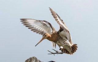 Goed weidevogelseizoen Utrechtse Venen
