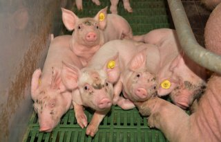 Saneringsregeling 25 november open voor varkenshouder