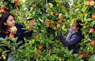 Fruitpact+pleit+voor+vernieuwing+appelareaal