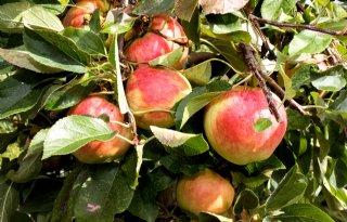 Zuidelijk+halfrond+oogst+iets+minder+appels