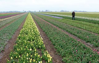 Noord%2DHolland+steunt+afzet+biologische+bloembollen