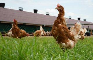Risico op vogelgriep inschatten blijft lastig