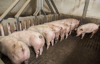 Analyse+slachterijdata+levert+varkenshouder+rendement+op