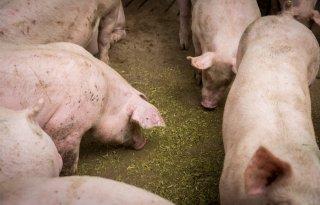 Hokverrijking+op+1+op+3+varkensbedrijven+op+orde