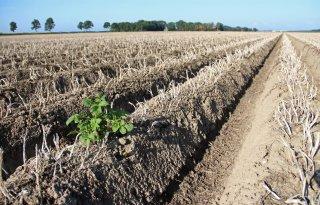 Vrees voor overaanbod op de aardappelmarkt