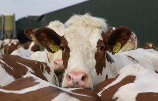 Zeven op tien koeien lopen buiten
