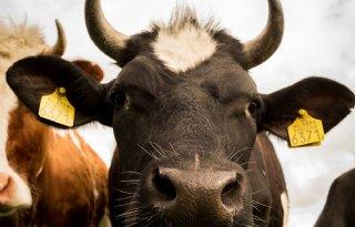 Duitse+bioboeren+houden+kalf+bij+de+koe