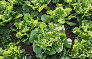 Kooijman+teelt+groente+volgens+Barendrechts+model