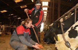 Koeien van familie Veldt krijgen peen in rantsoen