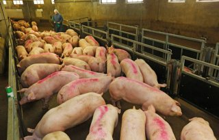 Rabobank%3A+dit+najaar+langzaam+herstel+varkensprijs