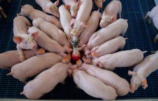 Twijfel+of+feestdagen+varkensmarkt+helpen