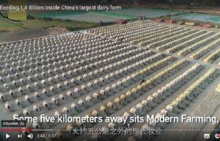 Chinees+koeienbedrijf+met+dagelijks+650+ton+melk