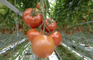 Vlaamse+tomatenteler+haalt+ruim+een+derde+opbrengst+uit+wkk