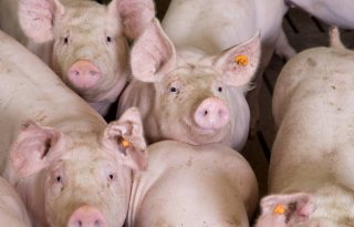 Minder+varkens+in+2020%2C+rundveestapel+groeit+licht
