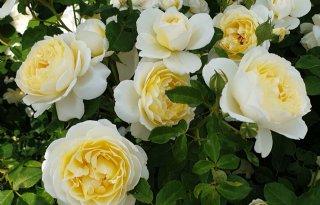 Vier rozen krijgen predicaat Excellence Roses