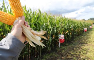 Oogstzekerheid bij mais wordt steeds belangrijker