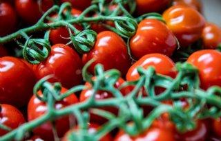 Enza+Zaden+vindt+hoge+resistentie+tegen+tomatenvirus