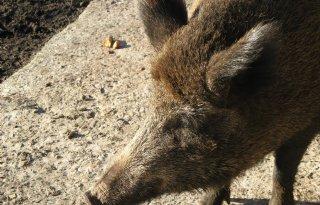 Opnieuw Afrikaanse varkenspest in Oekraïne