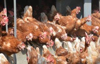 Pluimveebedrijven+om+Puiflijk+vrij+van+vogelgriep