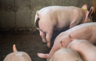 Tien varkenshouders gaan mestfracties onder roosters scheiden