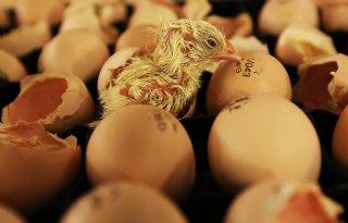 Dierenorganisaties+willen+verbod+op+doden+kuikens
