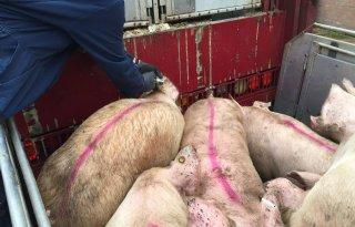Varkensslachterijen draaien op volle toeren