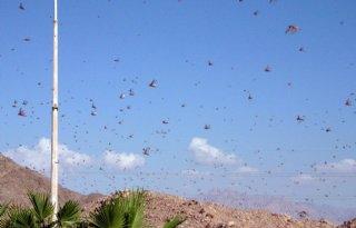 Sprinkhanen bedreigen voedselzekerheid
