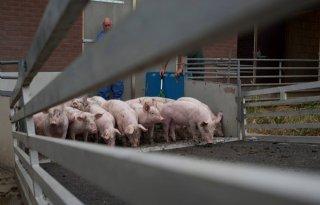 Stikstofwinst varkenshouderijsanering maar derde van geraamd