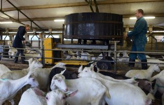 Biologische+melkgeitenhouders+lopen+vast+door+stikstofregels