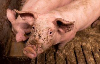 ESBL%27s+kunnen+overgaan+van+varkens+naar+mensen