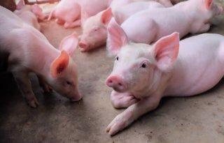 Aanpak antibiotica varkenshouderij per 1 januari 2021 in IKB's
