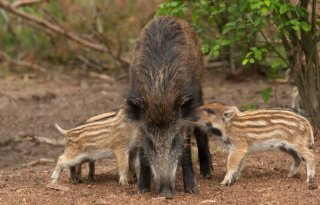 VS ontwikkelt sneltest Afrikaanse varkenspest
