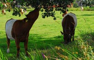 Boomwal+functioneert+als+apotheek+voor+koeien