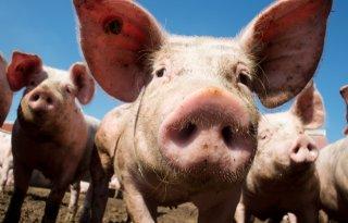 Overaanbod drukt markt biologische varkens