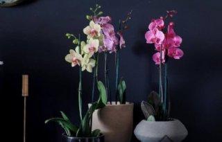 Sion+intensiveert+samenwerking+met+Hark+Orchids